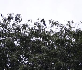 noisy birds in Melaka