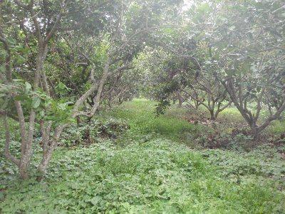Chiang Dao fruit farm
