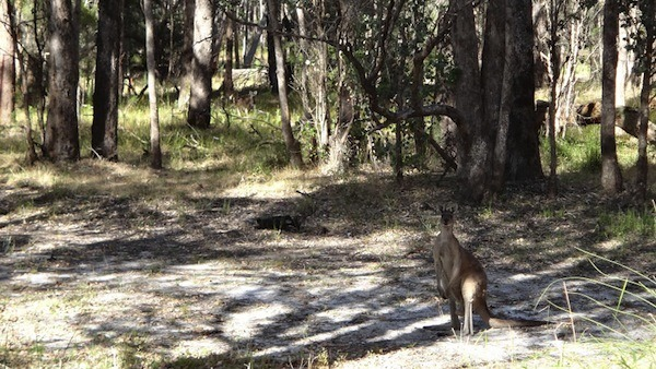Kangaroo In The Backyard At Gelorup